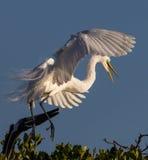 Wielki biały egret Fotografia Stock