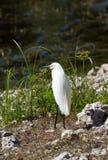 Wielki biały egret Zdjęcie Stock