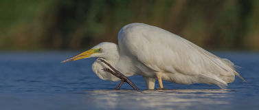 Wielki Biały Egret & x28; Egretta albumy, Ardea albumy & x29/; Zdjęcie Royalty Free