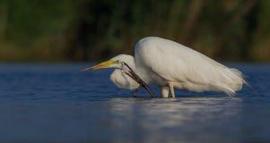 Wielki Biały Egret & x28; Egretta albumy, Ardea albumy & x29/; Obraz Royalty Free