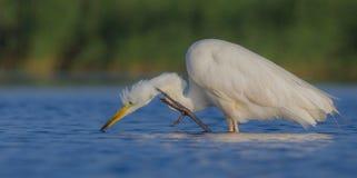 Wielki Biały Egret & x28; Egretta albumy, Ardea albumy & x29/; Zdjęcie Stock
