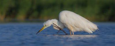 Wielki Biały Egret & x28; Egretta albumy, Ardea albumy & x29/; Obrazy Royalty Free