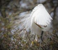 Wielki Biały Egret preening Fotografia Stock