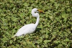 Wielki Biały Egret przy Crokscrew bagnem Floryda Zdjęcia Stock