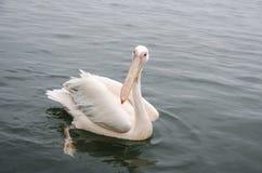 Wielki biały pelikan Obrazy Stock