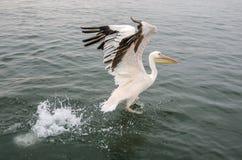 Wielki biały pelikan Zdjęcie Stock