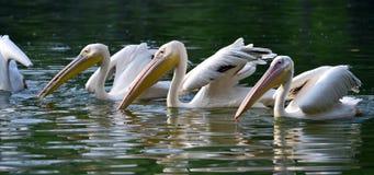Wielki biały pelikan Obrazy Royalty Free