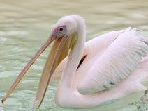 Wielki Biały pelikan (Pelecanus Onocrotalus) Obraz Royalty Free