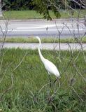 Wielki Biały Egret lub czapla Zdjęcie Stock