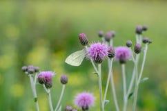 Wielki biel, Pieris brassicae motyl jest odpoczynkowy na purp zdjęcie royalty free