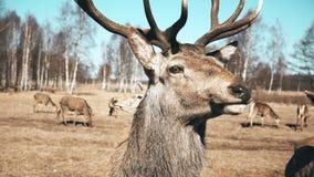 Wielki brown jeleni patrzeć w kamerze i żuć, stado zwierzęta na tle Jesieni łąka zdjęcie wideo