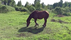 Wielki brown koń pasa na łące krajobrazu wiejskiego Zoomu out kamera Koń je trawy i oddalonych insektów macha ogon zbiory