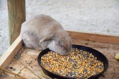Wielki brown królik je adrę Obraz Stock