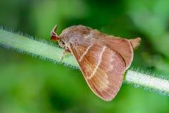 Wielki brown motyli macrothylacia rubi siedzi na zielonym badylu o Fotografia Stock