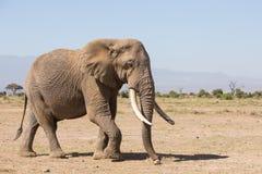 Wielki byka słoń w Amboseli, Kenja Zdjęcia Stock