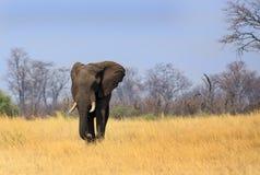 Wielki byka słonia odprowadzenie przez otwarte równiny w Zimbabwe obraz stock
