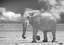 Wielki byka słonia Pachyderm odprowadzenie przez suche równiny w Etosha obraz royalty free
