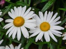Wielki chamomile kwiat zdjęcia royalty free
