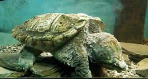 Wielki chapnąć żółw obrazy stock