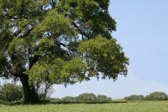 wielki cień drzewa Zdjęcia Royalty Free
