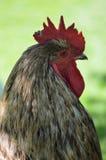 Wielki Cockerel Zdjęcia Stock