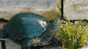 Wielki czarny żółw siedzi w parku zbiory wideo