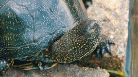 Wielki czarny żółw siedzi w parku zdjęcie wideo