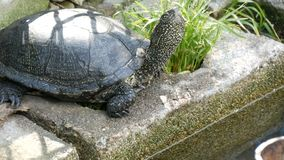 Wielki czarny żółw siedzi w parku zbiory