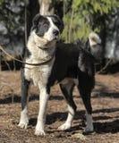 Wielki czarny i biały crossbreed pies Zdjęcia Stock