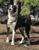 Wielki czarny i biały crossbreed pies Zdjęcia Royalty Free