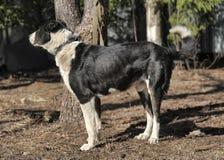 Wielki czarny i biały crossbreed pies Obraz Royalty Free