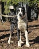 Wielki czarny i biały crossbreed pies Fotografia Stock