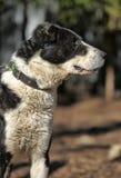 Wielki czarny i biały crossbreed pies Zdjęcie Stock
