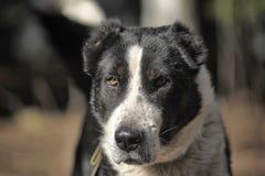 Wielki czarny i biały crossbreed pies Obrazy Royalty Free