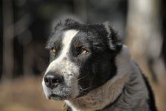 Wielki czarny i biały crossbreed pies Fotografia Royalty Free