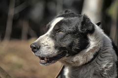 Wielki czarny i biały crossbreed pies Obrazy Stock