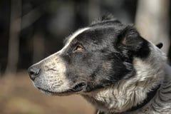 Wielki czarny i biały crossbreed pies Obraz Stock