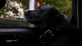 Wielki czarny pies jedzie w samochodzie, kłaść jego głowę na okno, oddycha świeże powietrze slowmotion, HD, 1920x1080 zdjęcie wideo