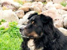 Wielki czarny pies od Berner Sennenhund lying on the beach na trawie woko?o gazon?w spojrzeniach i ostro?nie, w g?r? zdjęcia stock