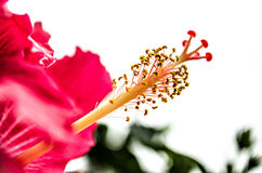 Wielki czerwieni menchii kwiat Zdjęcia Royalty Free
