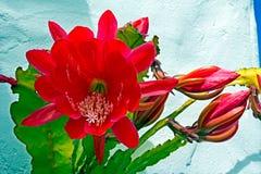 Wielki czerwony kwiat na Czerwonym Storczykowym kaktusie fotografia royalty free