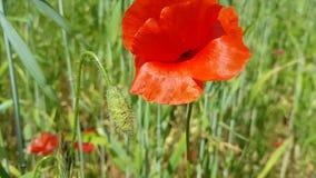 Wielki czerwony makowy kwiat huśta się w wiatrze zbiory