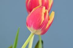 Wielki czerwony tulipanowy kwiat w kwiacie Zdjęcie Royalty Free