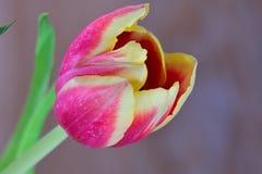 Wielki czerwony tulipanowy kwiat w kwiacie Fotografia Stock