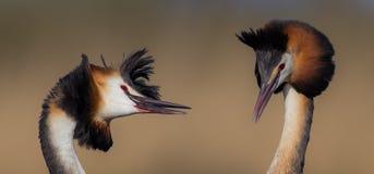 Wielki czubatego perkoza Podiceps cristatus Zdjęcie Stock