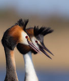Wielki czubatego perkoza Podiceps cristatus Fotografia Stock