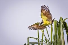 wielki czubaty flycatcher Fotografia Royalty Free