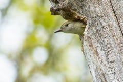 Wielki czubaty flycatcher - Myiarchus crinitus Obrazy Stock