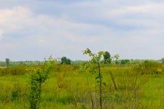 Wielki czubaty flycatcher na młodym drzewie Fotografia Stock