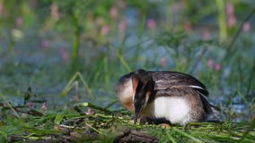 Wielki Czubaty perkoz, Podiceps cristatus na gniazdeczku, prostuje jajka i siedzi na one zbiory